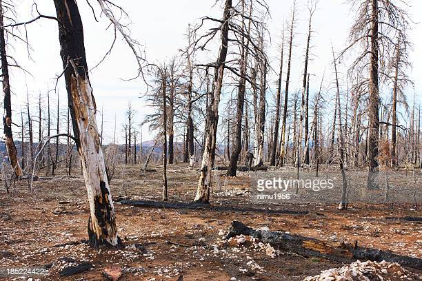 burned forest in bryce canyon national park - dead stock pictures, royalty-free photos & images