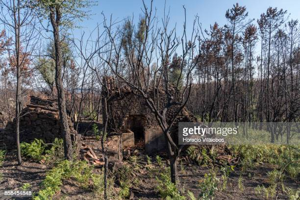 Burned ground and trees seen four months after the forest fire on October 06 2017 in Vila Facaia Portugal Pedrogao Grande municipality suffered the...