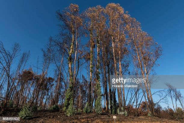 Burned ground and trees seen recuperating their green four months after the forest fire on October 06 2017 in Vila Facaia Portugal Pedrogao Grande...