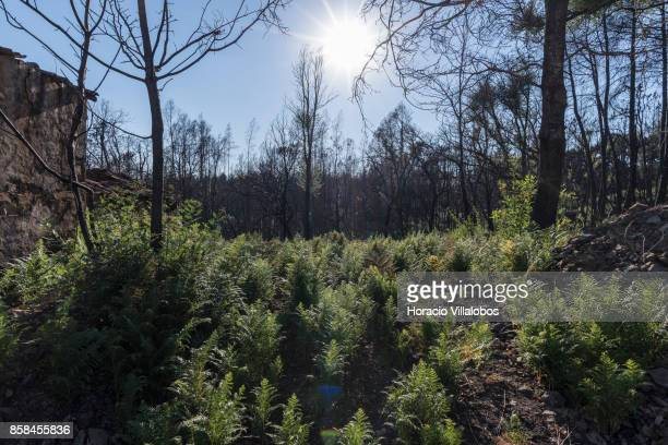 Burned ground seen recuperating vegetation four months after the forest fire on October 06 2017 in Vila Facaia Portugal Pedrogao Grande municipality...