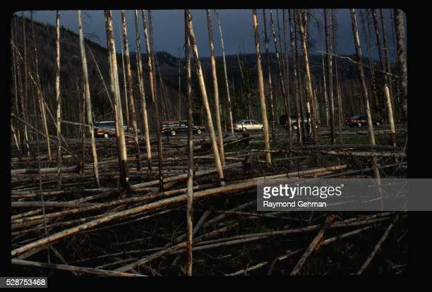 burned lodgepole pines - 20th century stock pictures, royalty-free photos & images