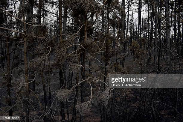 Burned needles on pine trees and landscape show some of the scope of the loss in the midst of the Black Forest Fire on June 13 2013 Photo by Helen H...