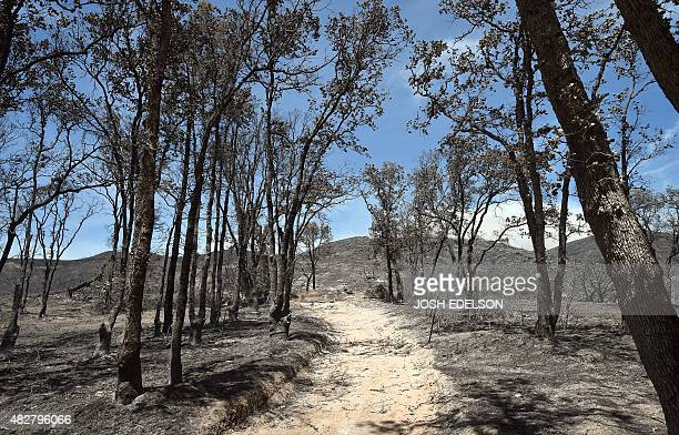 Burned trees are seen along a dirt road near where homes were lost as a result of the Rocky fire near Clear lake California on August 02 2015...