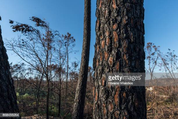 Burned trees four months after the forest fire on October 06 2017 in Vila Facaia Portugal Pedrogao Grande municipality suffered the death of at least...