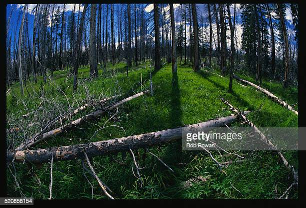 burned trees from forest fire - 20世紀 ストックフォトと画像