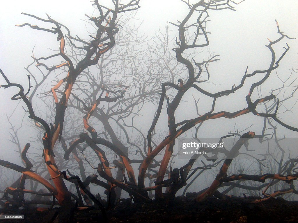 Burned trees in morning fog : Stock Photo