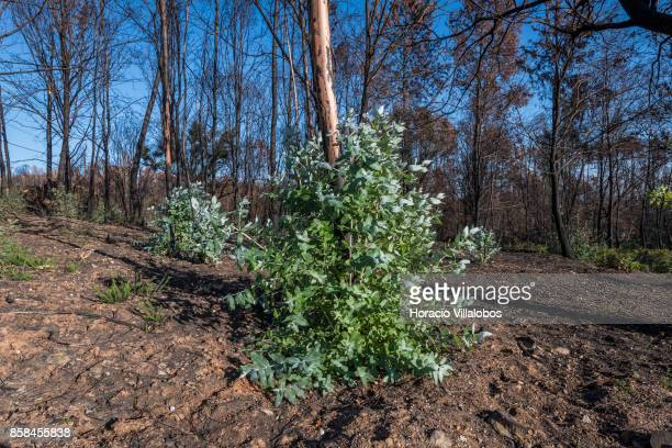 Burned trees seen recuperating their green four months after the forest fire on October 06 2017 in Vila Facaia Portugal Pedrogao Grande municipality...