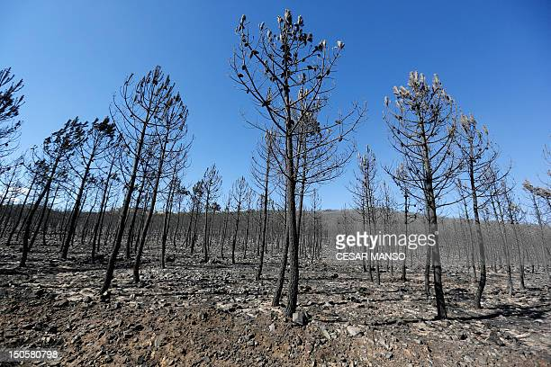 Burned trees stand after fire in Torneros de la Balderia, near Leon on August 22, 2012. Numerous wildfires have broken out across Spain in the...
