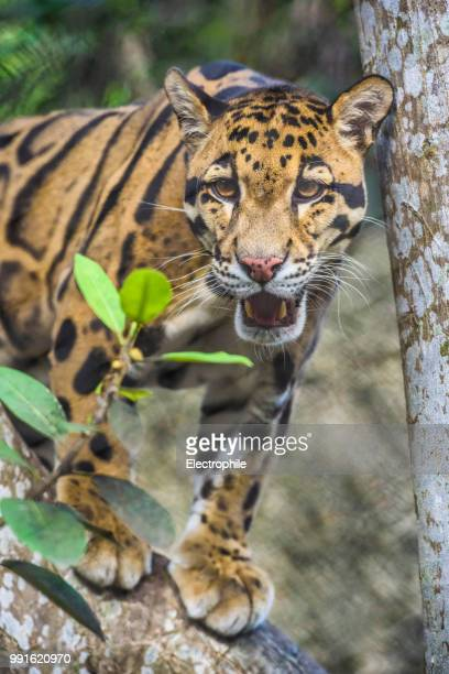 burning bright - clouded leopard stock photos and pictures