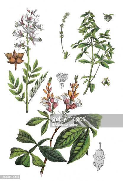 Burning bush, Dictamnus albus , Spurge, Mercurialis annua , amargo, bitter-ash, bitter-wood, Quassia amara ,.