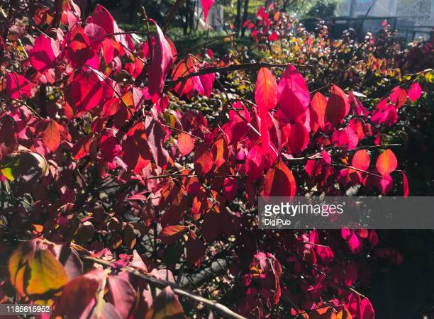burning bush on roadside in november - istock images stock pictures, royalty-free photos & images