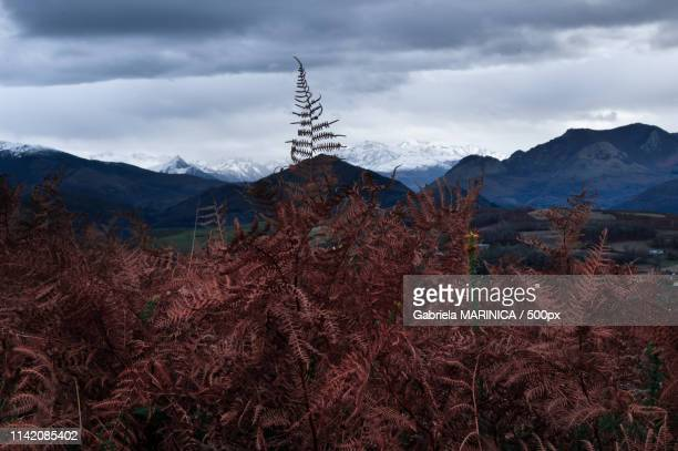 burning fern - gabriela stock pictures, royalty-free photos & images