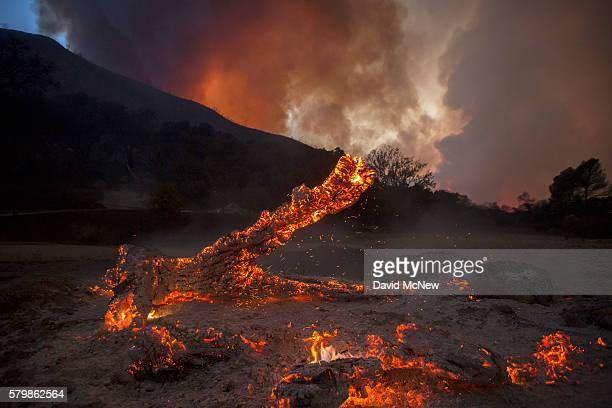 A burning oak is seen in Placerita Canyon at the Sand Fire on July 24 2016 in Santa Clarita California Tripledigit temperatures and dry conditions...