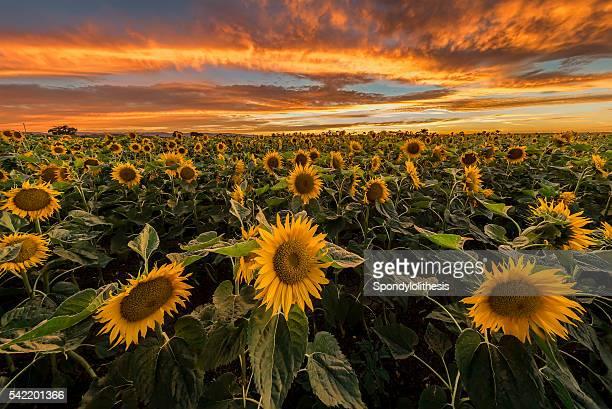 Burning sunset at sunflowers farm