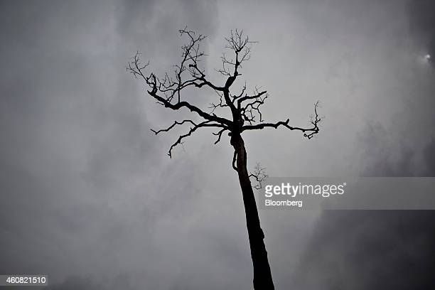 A burnt brazil nut tree stands on a farm in the southern part of the Amazonian state of Para near Belo Monte Brazil on Sunday Dec 14 2014 The rate of...