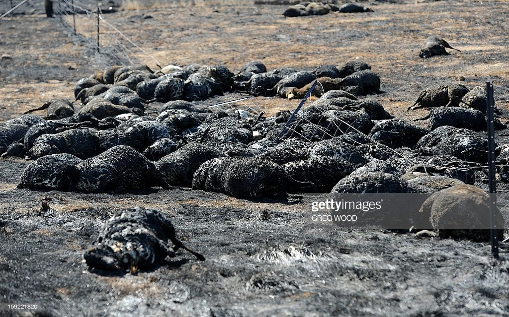 Burnt dead sheep lie in a paddock where they tried to break through a fence as a recent bushfire raged near Bookham, a small village in the Yass Shire in the southern region of Australia's New South Wales state, on January 10, 2013. Fires have been raging across Australia for nearly a week and while many have been contained, 126 are still burning and at least 15 remain out of control in the country's most populous state, New South Wales. AFP PHOTO / Greg WOOD