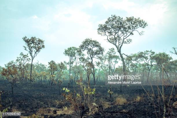 burnt down amazon tropical rain forest, richest ecosystem on earth destroyed to ashes for cow grazing and soya crops - amazon rainforest burning stock pictures, royalty-free photos & images