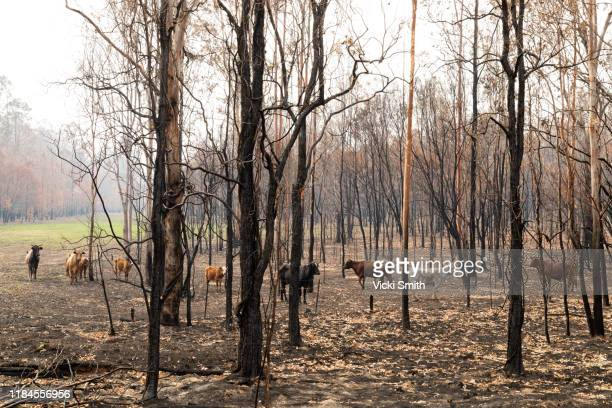 burnt eucalyptus trees, blackened trunks and smoke haze with beef cattle standing in the burnt pasture - bushfire australia stock pictures, royalty-free photos & images