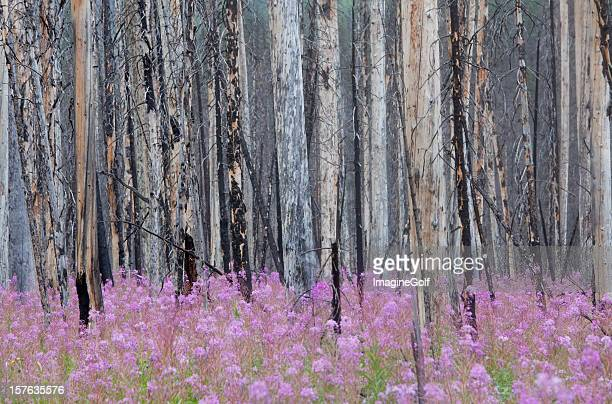 Burnt Forest with Fireweed