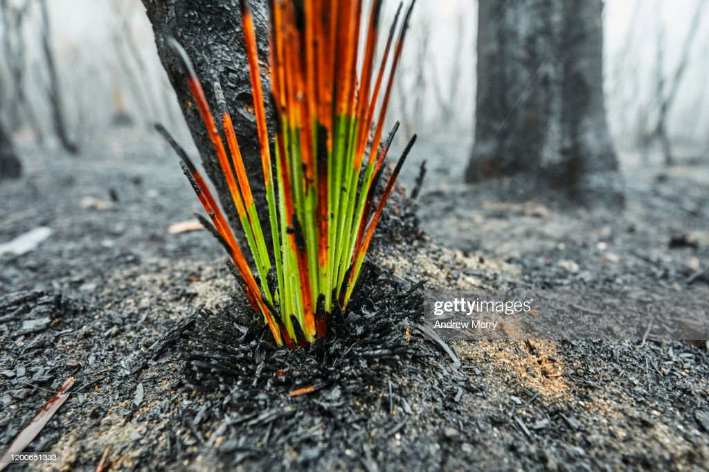 Burnt grass tree growing after bushfire, forest fire smoke and fog, Blue Mountains, Australia : Stock Photo
