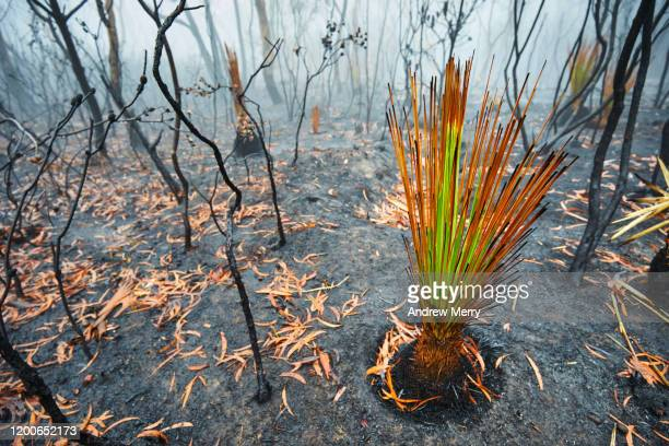 burnt grass tree growing after bushfire with forest fire smoke and fog, blue mountains, australia - katoomba stock pictures, royalty-free photos & images