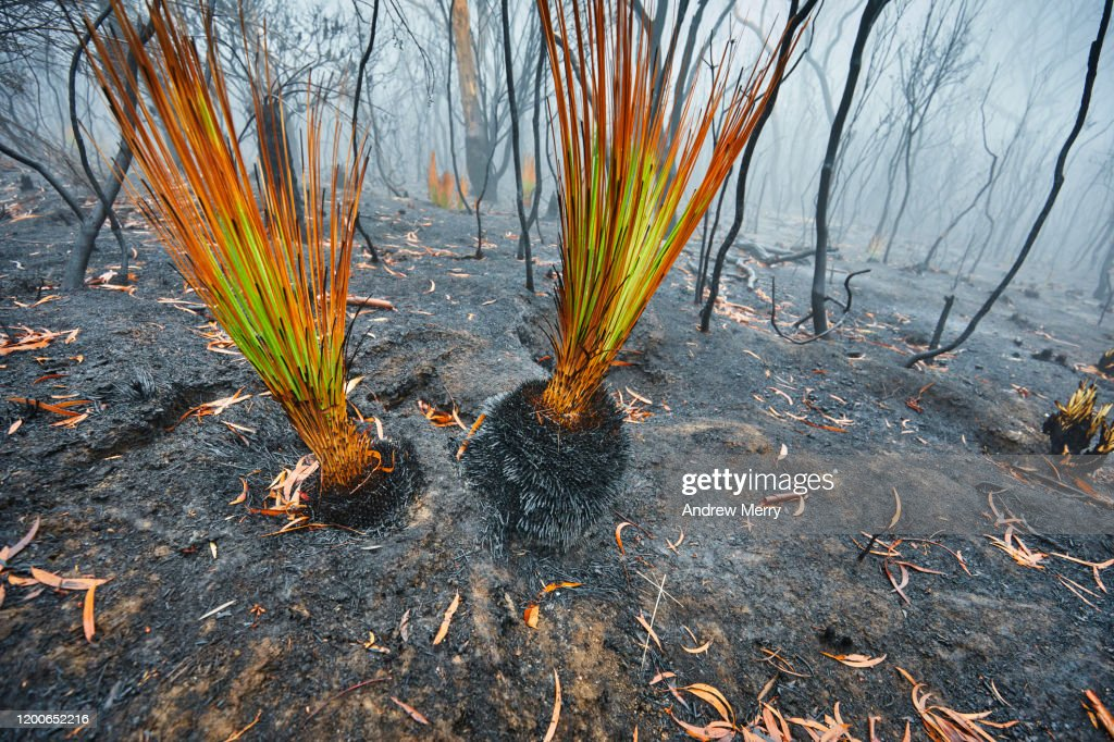 Burnt grass tree growing after bushfire with forest fire smoke and fog, Blue Mountains, Australia : Stock Photo