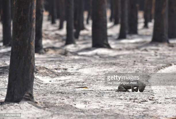 Burnt koala bear is seen near the charred eucalyptus forest as Members of Humane Society International disaster response team walk, looking for...