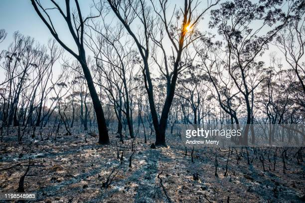 burnt landscape with charred trees, ash and setting sun, forest fire, bushfire in australia - forest fire stock pictures, royalty-free photos & images