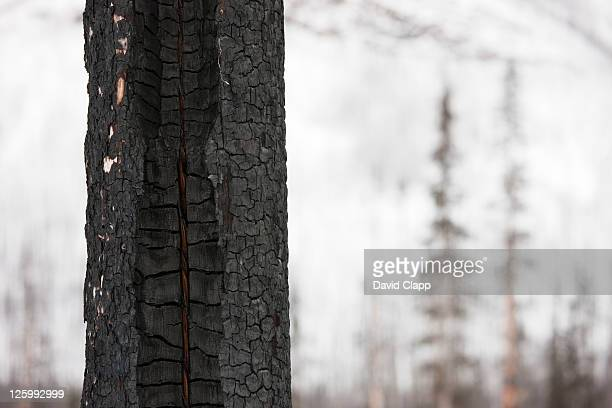 burnt tree in a forest near field, yoho national park in the canadian rockies, canada - februar stock-fotos und bilder