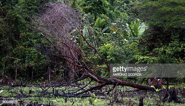 A burnt tree lies down on a road along the Amazon rainforest 270 Km far from Tailandia in Para northen Brazil on February 26 2008 The Brazilian...