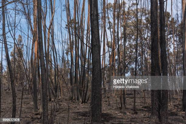 Burnt trees across the street from the small village cemetery where forest fire victims are being buried on June 22 2017 in Vila Facaia Portugal This...