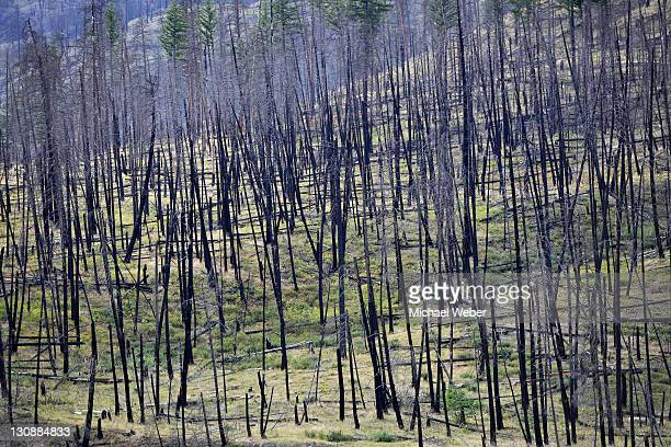 Burnt trees after a forest fire, Barriere, British Columbia, Canada