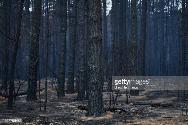 Burnt trees are pictured in the Wingello State Forest on January 06, 2020 in Wingello, Australia. Cooler conditions and light rain has provided some...