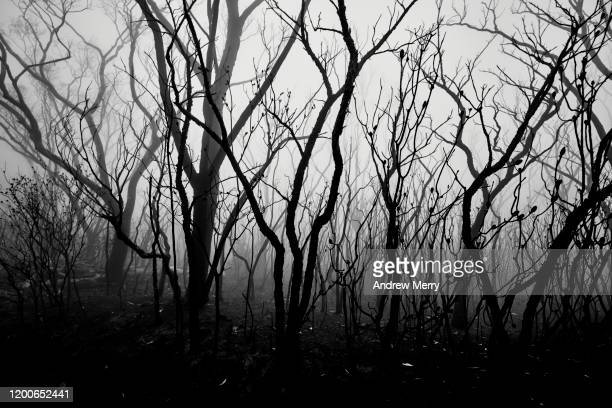 burnt trees in atmospheric smog, forest fire smoke and fog after bushfire, australia - death photos stock pictures, royalty-free photos & images