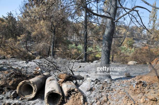 burnt trees in eshtaol fores, israel - forens stock pictures, royalty-free photos & images