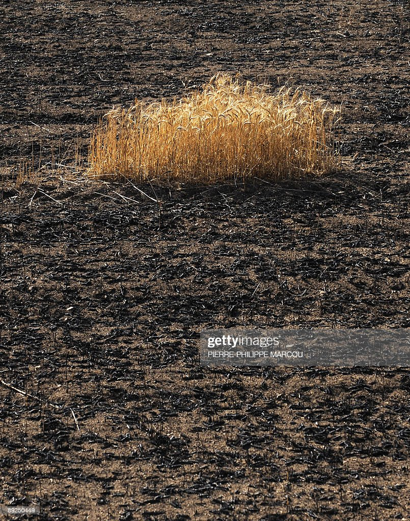 Burnt wheat fields are pictured near Eju : News Photo