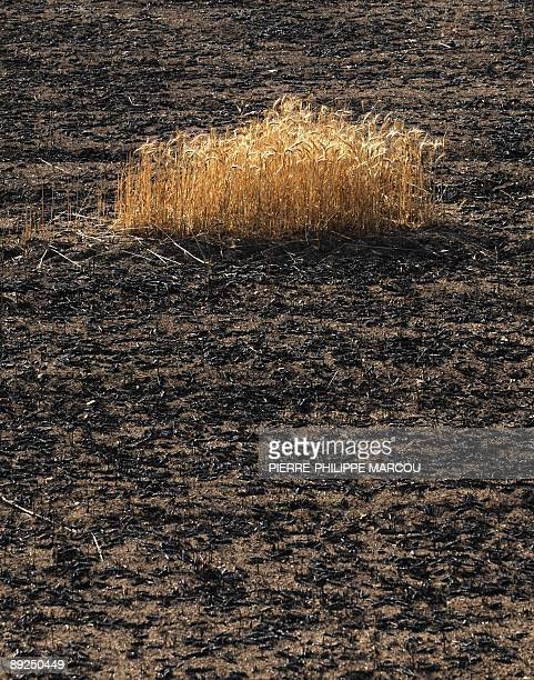 Burnt wheat fields are pictured near Ejulve close to Teruel on July 25 2009 Deadly summer wild fires spread across Spain France Italy and Greece on...