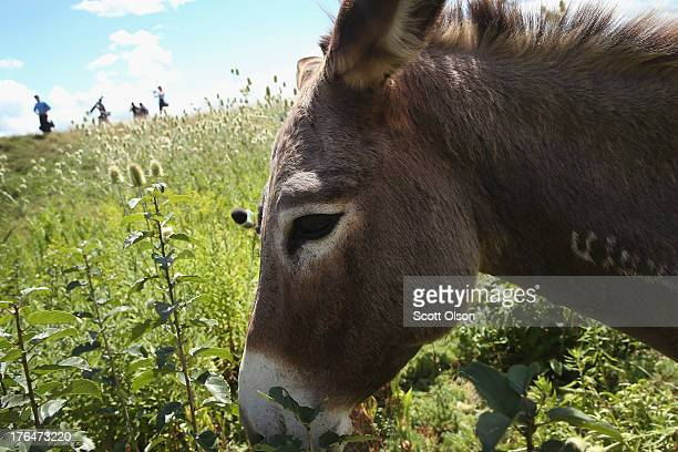 A burro grazes on a twoacre plot of land at O'Hare Airport on August 13 2013 in Chicago Illinois The burro is part of a herd of 25 goats sheep llamas...