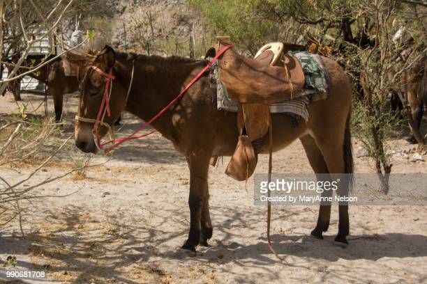 burro waiting in the shade with saddle and reins - mexican riding donkey stock photos and pictures