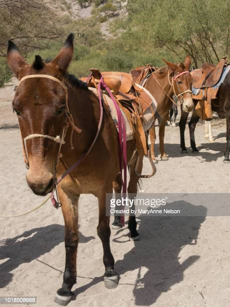 burros saddled and ready to ride - mexican riding donkey stock photos and pictures