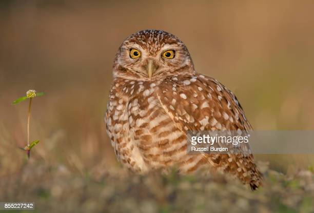 Burrowing owl at sunset