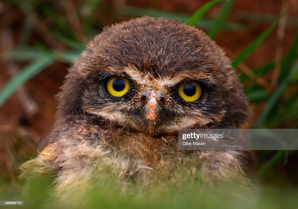 A burrowing owl at the side of the track during practice for the Formula One Grand Prix of Brazil at Autodromo Jose Carlos Pace on November 13, 2015 in Sao Paulo, Brazil.
