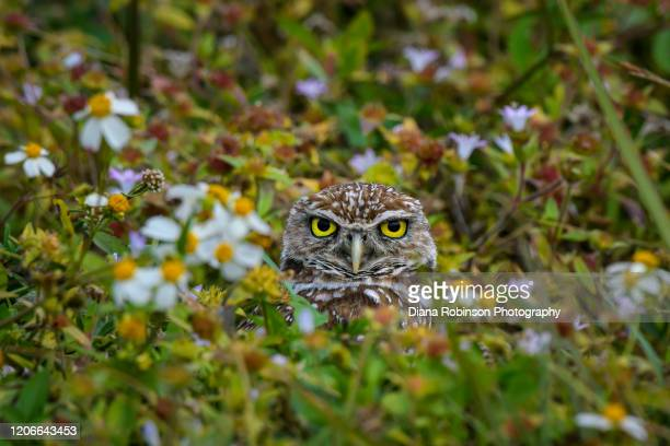 a burrowing owl in his nest among the daisies, cape coral, southwest florida - 南西 ストックフォトと画像
