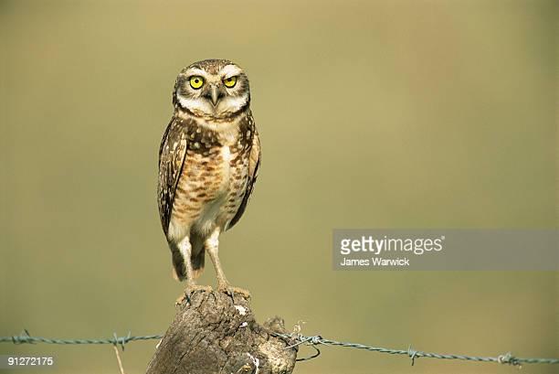 Burrowing owl on fence post