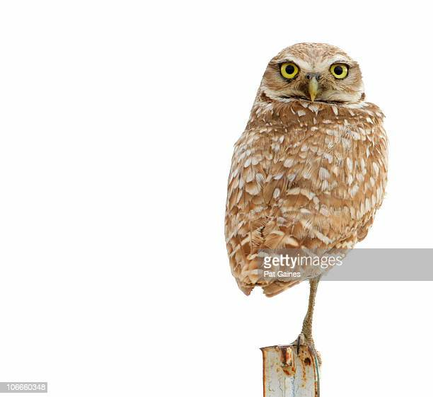 Burrowing Owl on White Background