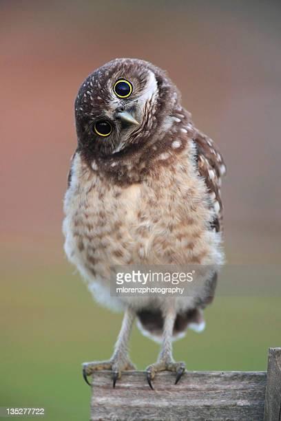 Burrowing Owl Owlet
