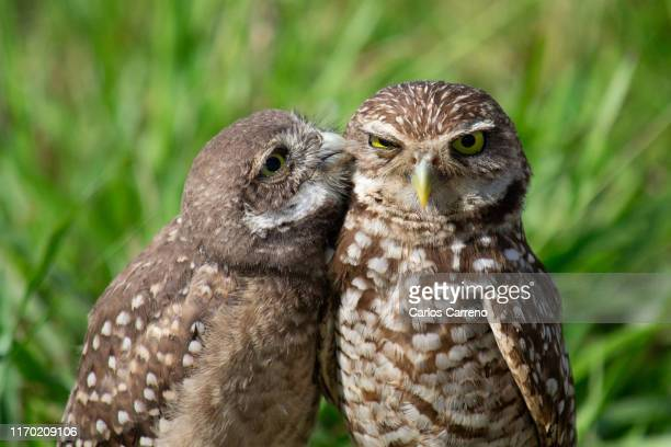 burrowing owl peck - animale foto e immagini stock