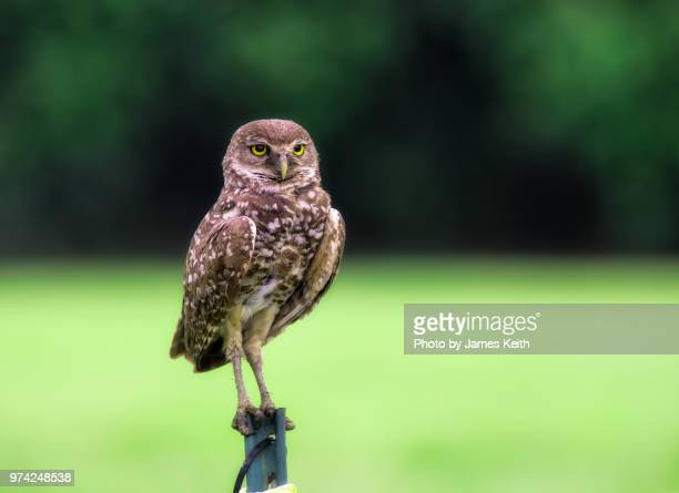 A burrowing owl perches  on top of a nearby post and stares intently at the camera.