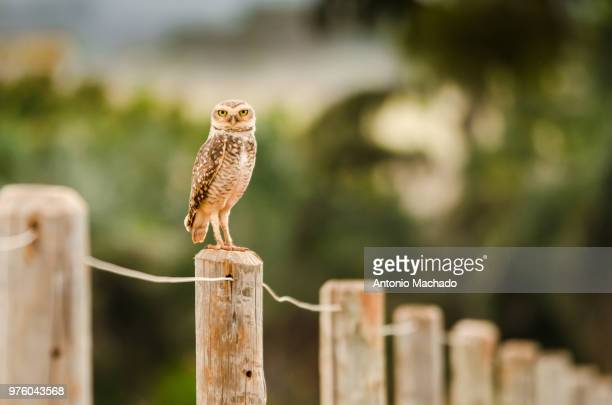 Burrowing owl (athene cunicularia) perching on fence post, Goiania, Goias, Brazil
