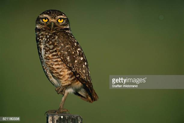 Burrowing Owl Perching on Fence Post